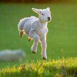 2015: год Овцы