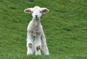 Год Овцы Козы 2015