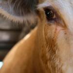Корова и заключенный