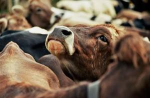 Коровы в тюрьме